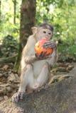 Apa som äter det röda äpplet i Indien Arkivfoto