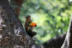 Apa som äter en frukt på ett träd Royaltyfria Bilder