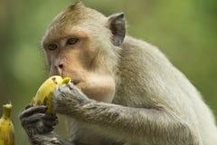 apa äter banan
