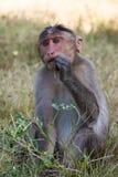 Apa som äter gräs Arkivfoto