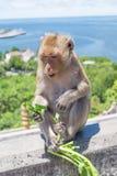 Apa som äter grönsaken fotografering för bildbyråer