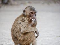 Apa som äter jordnötter Arkivfoto