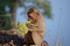 Apa som äter på Angkor Thom. Cambodja Arkivbild