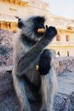 Apa som äter samosa i Indien Fotografering för Bildbyråer
