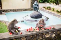 Apa som äter vattenmelon i Bali Royaltyfria Bilder