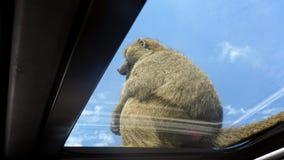 Apa som överst sitter av en bil arkivfoto