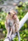Apa (som Krabba-äter macaquen) Royaltyfria Foton