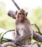 Apa (som Krabba-äter macaquen) Arkivfoton
