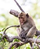 Apa (som Krabba-äter macaquen) Fotografering för Bildbyråer