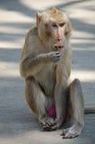 Apa som Krabba-äter macaquen arkivfoton