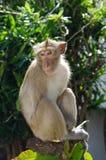 Apa som Krabba-äter macaquen royaltyfri fotografi
