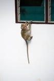 Apa som Krabba-äter macaquen royaltyfria foton