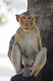Apa som Krabba-äter macaquen royaltyfri foto