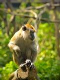 Apa (som Krabba-äter macaquen) Arkivfoto
