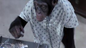 Apa som låser sig från kedja i sjukhus upp stock video