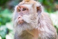 Apa som omkring ser Lös natur av Bali, Indonesien Arkivbild