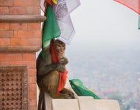 Apa som rymmer en bönflagga Royaltyfri Fotografi