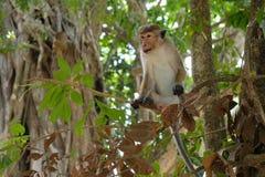 Apa som så är kall i hans träd i djungeln, Sri Lanka, Asien arkivbild