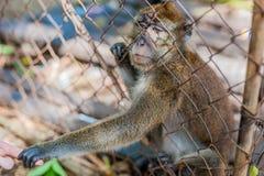 Apa som ser till och med stängerna arkivfoto