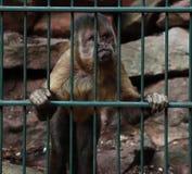 Apa som ser ut ur hans bur arkivbilder