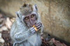 Apa som äter frukten Royaltyfria Foton