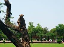Apa som vilar på ett träd arkivfoto