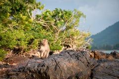 Apa som väntar på och ser stulen mat för möjlighet i en ö av andamanhavet, Thailand Lipe ö Arkivbild