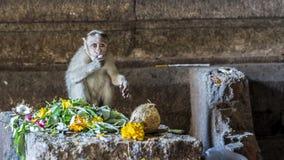 Apaaffär - en macaque behandla som ett barn njuta av offeringsna till guden arkivfoton