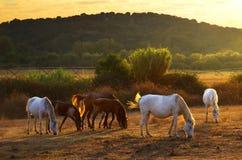 Apacentamiento de caballos imagenes de archivo