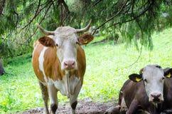 Apacentamiento de las vacas Imagenes de archivo