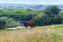 Apacentamiento del caballo en el campo Imagen de archivo libre de regalías