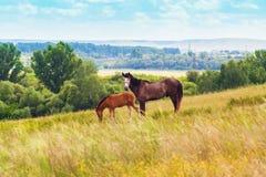 Apacentamiento del potro y del caballo en el campo Fotos de archivo