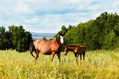 Apacentamiento del potro y del caballo en el campo Foto de archivo libre de regalías