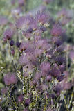 apache λοφίο paradoxa fallugia Στοκ φωτογραφίες με δικαίωμα ελεύθερης χρήσης