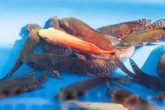 Apache cichlids στη λεκάνη, ψάρια Στοκ φωτογραφία με δικαίωμα ελεύθερης χρήσης