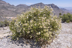 Apache plume in bloom in desert Royalty Free Stock Photography