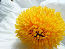 APACHE PLUME. FLOWER ON CLOSE-UP (MACRO Royalty Free Stock Photography