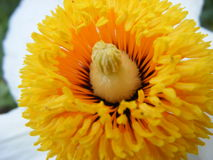 APACHE PLUME. FLOWER ON CLOSE-UP (MACRO Stock Images