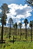 Apache Sitgreaves National Forest 2002 Rodeo-Chediski Fire Regrowth as of 2018, Arizona, United States stock photography