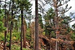Apache--Sitgreavesstaatlicher wald, Arizona, Vereinigte Staaten Stockbild