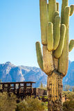 Apache Trail Arizona. Candelaber cactus at Apache Trail in Arizona Stock Images
