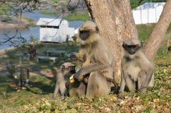 Apafamiljen sitter på en kulle och äter bananer royaltyfri bild