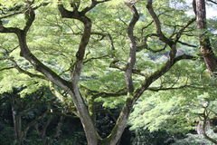 apafröskidatree Arkivbilder