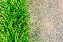 Apagräs Arkivfoton
