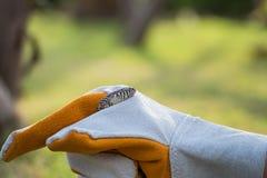 Apalachicola Kingsnake Στοκ Εικόνες