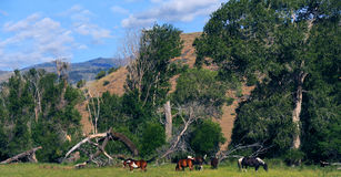 Apaloosa κατά μήκος της σειράς βουνών Absaroka στοκ εικόνες με δικαίωμα ελεύθερης χρήσης