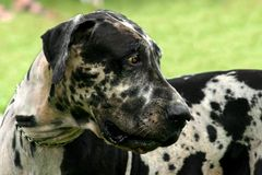 Apaloosa dane Stock Photo