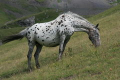Apaloosa horse Royalty Free Stock Images