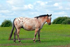 Apaloosa Horse Royalty Free Stock Photo
