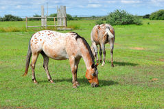 Apaloosa Horses Grazing in Pasture Royalty Free Stock Photos
